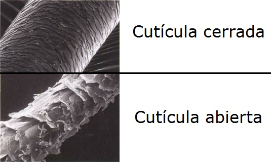 cuticula